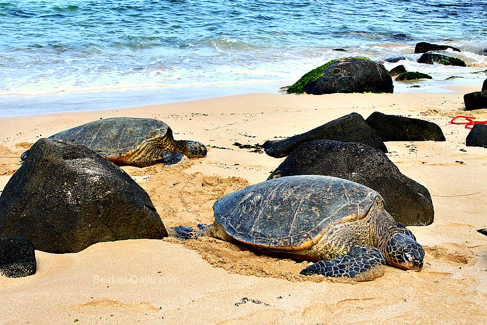 Laniakea Beach Better Known As Turtle