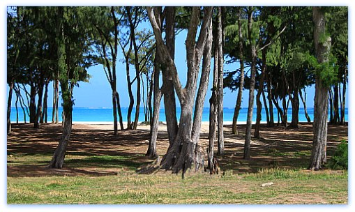 Waimanalo Beach Ironwood Trees