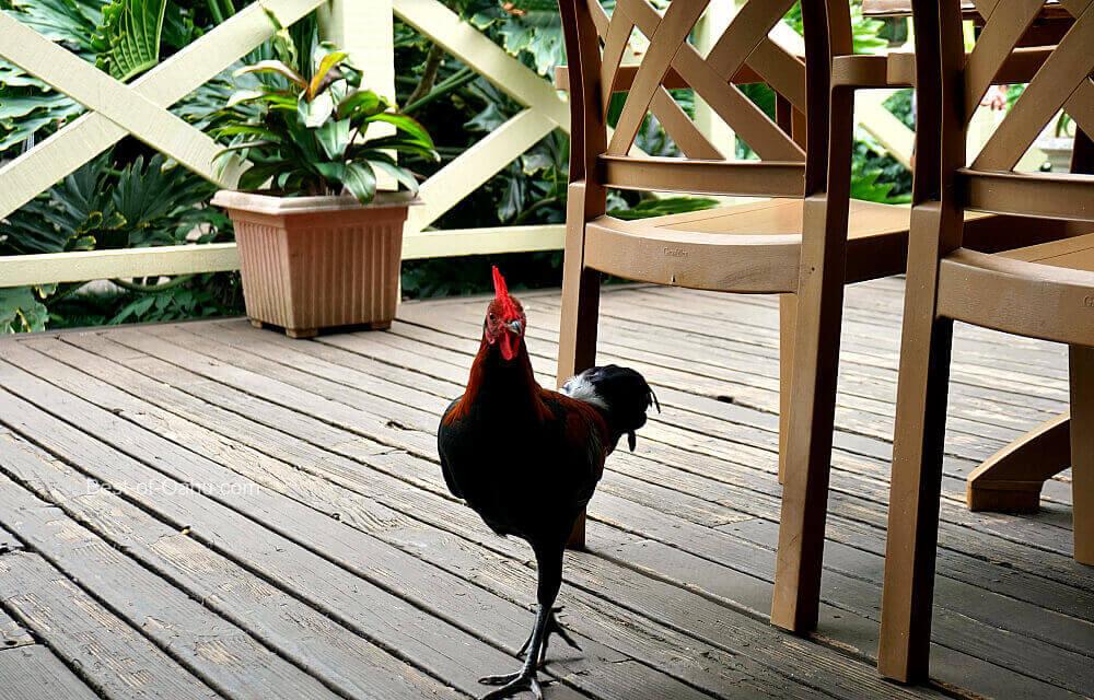Waimea Valley Chicken