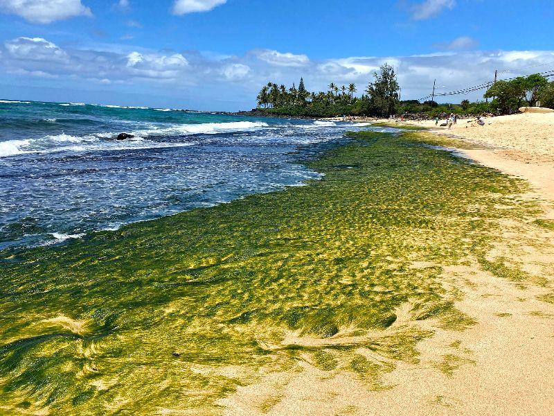 Laniakea Beach Seagrass Rocks