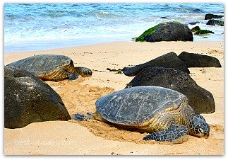Laniakea Beach Sea Turtles
