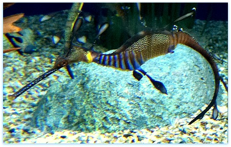 Waikiki Aquarium Sea Dragon