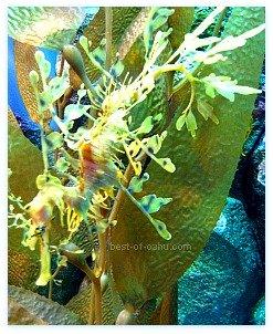 Waikiki Aquarium Seahorse