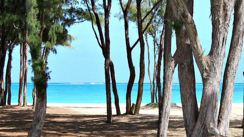 Waimanalo Bay Ironwood Trees
